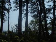 130608クロマツ林@エコカフェ.JPG