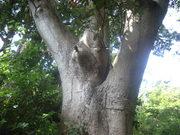 130608タブノキ樹肌@エコカフェ.JPG
