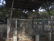 130714鹿島神社大欅@エコカフェ(埼玉ミニ農園).jpg