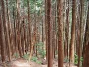 130720倒木のあるスギ二次林@エコカフェ.JPG