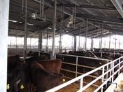 140313出荷待ちの子牛たち@エコカフェ.JPG