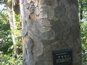 141018アカガシ樹皮@エコカフェ.JPG