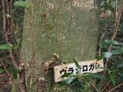 141108ウラジロガシ樹幹@エコカフェ.JPG