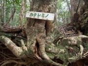 141108カクレミノ樹幹@エコカフェ.JPG