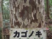 141108カゴノキ樹幹@エコカフェ.JPG