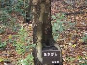141130アカガシ樹皮@エコカフェ.JPG