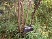 141130アブラチャン樹皮@エコカフェ.JPG