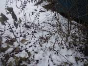 141206雪中のコムラサキ@エコカフェ.JPG