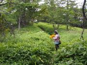 160807マルバダケブキ風景@池の平湿原.JPG