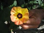 2006オオハマボウの花@エコカフェ.jpg