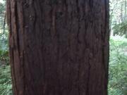 イヌマキ樹肌@エコカフェ.JPG