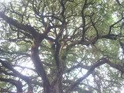 シラカシ樹形@エコカフェ.JPG