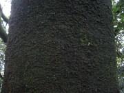 シラカシ樹皮@エコカフェ.JPG