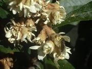ビワの花とハナアブ.JPG