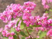 ピンク色のソバの花@エコカフェ.JPG