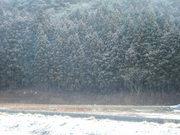 志津川大畑の雪化粧した杉林@エコカフェ.JPG