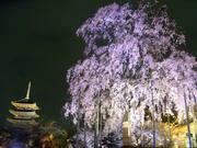 東寺と夜桜@エコカフェ.JPG