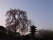 東寺と枝垂れ桜@エコカフェ.JPG