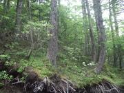 樹林内のハクサンシャクナゲ@エコカフェ.JPG