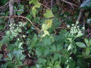湖畔に咲くアシタバの花.JPG
