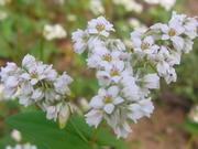 白色ソバの花@エコカフェ.JPG