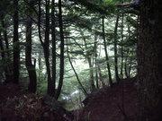 針葉樹林@エコカフェ.JPG