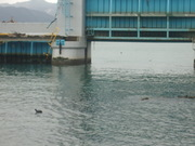 防潮水門とオオバン@エコカフェ.JPG