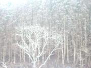 雪化粧の杉林@エコカフェ.JPG